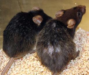 reverse aging in laboratory mice