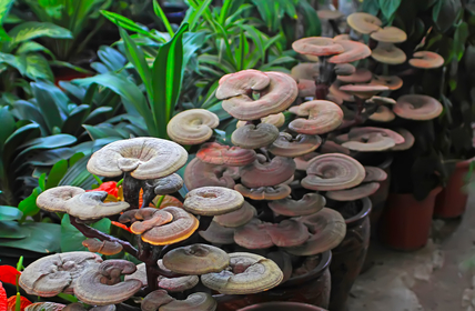 Discover the Benefits of Five Healing Medicinal Mushrooms