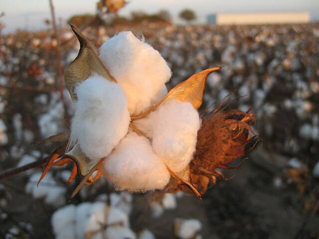 GMO Cotton In Personal Hygiene Products?