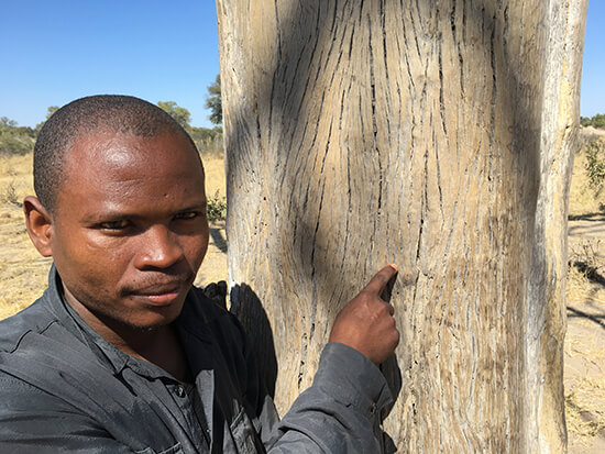 profs-african-travels-winders-tree500