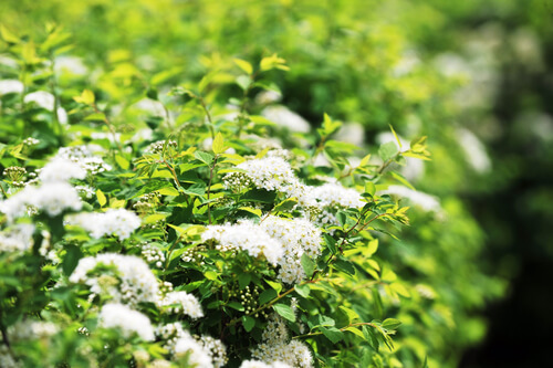 Meadowsweet – A Natural Pain Reliever Throughout History