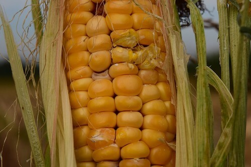 effects-of-poor-nutrition-corn