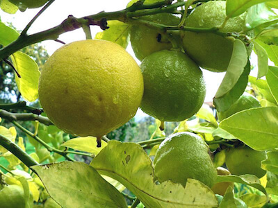 The Powerful Benefits of Bergamot & Why YOUR Liver Needs It